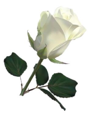 Белая роза рисунок